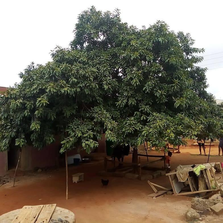 Apple growing in Ghana
